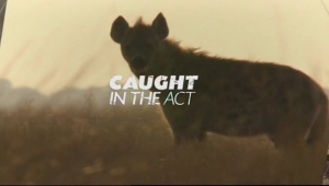 CAUGHT IN THE ACT 2 - Hyenas